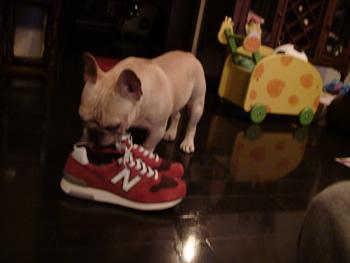 靴を臭うフレンチブルドッグ
