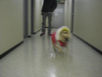 フレンチブルドッグ走る