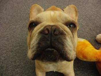 フレンチブルドッグ番犬