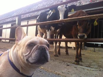 フレンチブルドッグ牧場