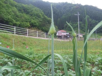にんにくの芽