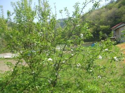 2011りんごの花