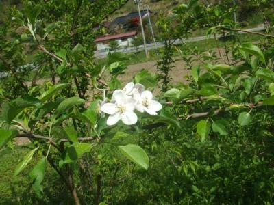 2011りんごのハナ
