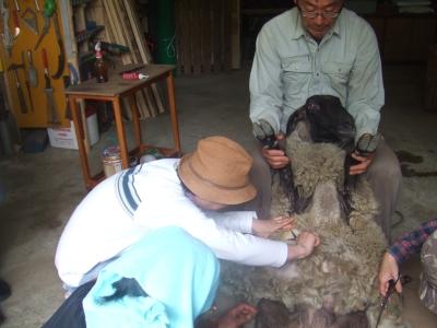 ハナちゃん毛刈り2