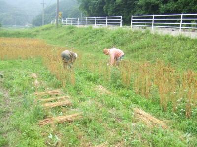 2011麦刈り2
