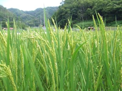 2011お米の花