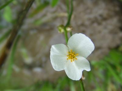 田んぼの花