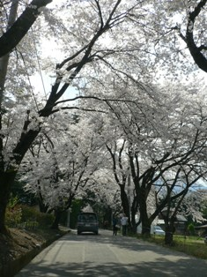 眞原の桜並木