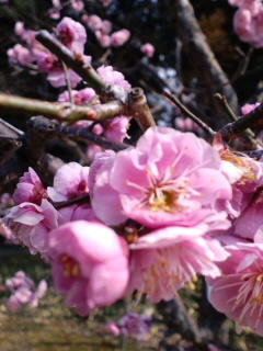 長岡天満宮、梅の花