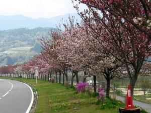 2007年4月24日 桜の開花状況
