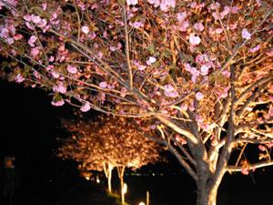 2007年4月24日 夜桜