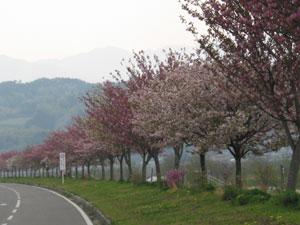 2007年4月26日 桜の開花状況