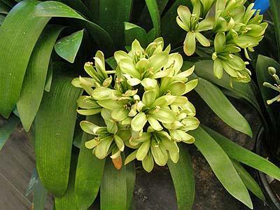 緑花開くタイプ