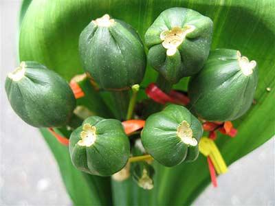 中国君子蘭のベリー4