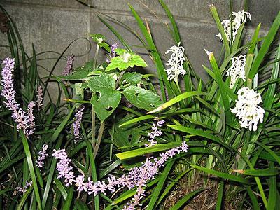 ヤブラン白花