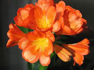タイガー花