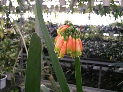 原種君子蘭 ノビリス