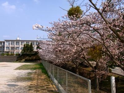 違う入口を使っていたので、桜の印象はないのであった。
