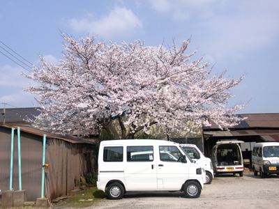 軽トラと桜は相性がいいですね。
