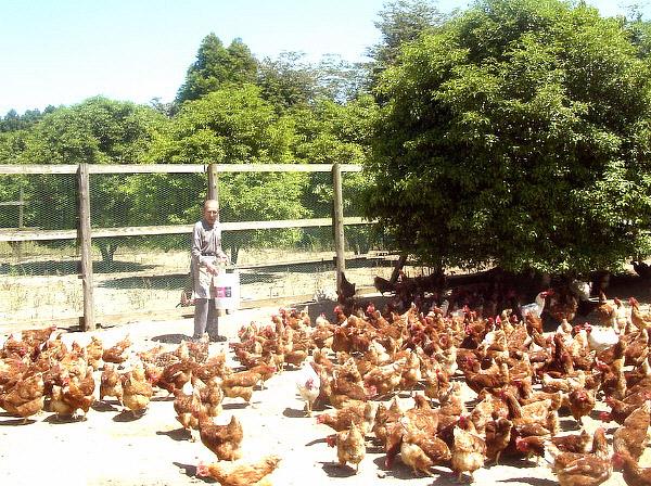 水郷どり 朝引き朝どりセット 国産 鶏肉 産地直送