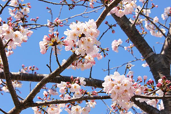 千葉県香取市 桜の名所 小見川城山公園