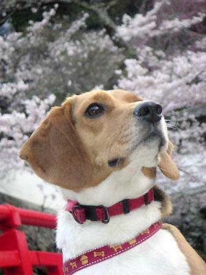桜とアホ犬
