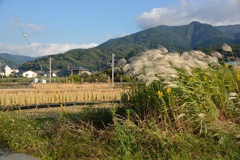 稲とススキ
