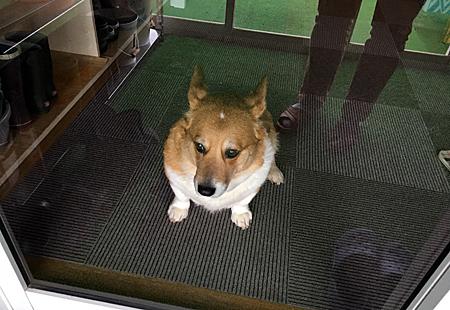 玄関で散歩をせがんでいると思われる表情のハナ