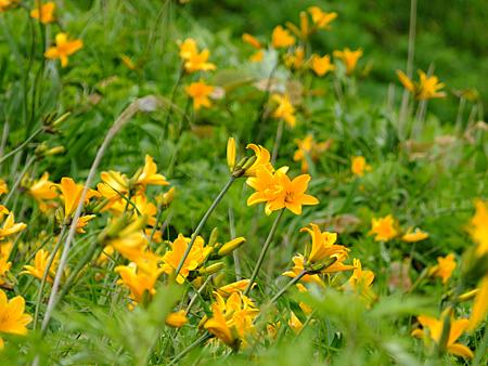 エゾカンゾウの黄色い花の群落