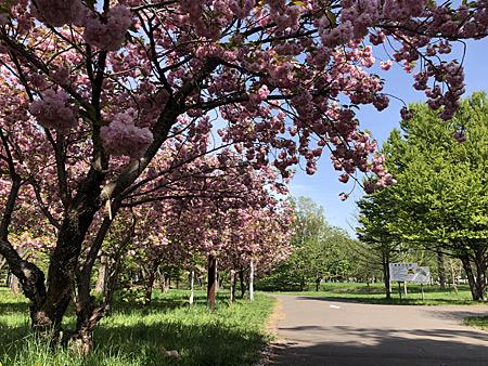 まだ咲いている桜並木
