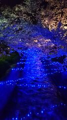 桜イルミネーション桜2