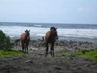 waipio horses
