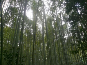 bamboo forest1