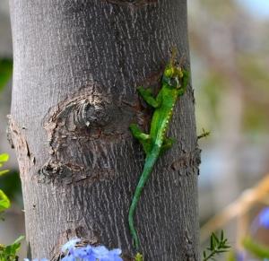 jacson chameleon