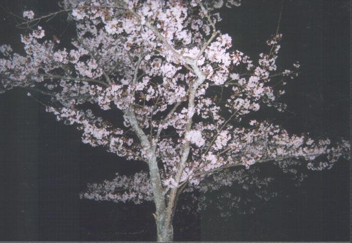 2004年の桜