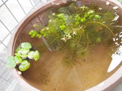 ADA水鉢