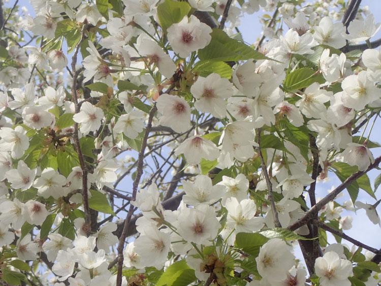 桜さく崇仁テラス