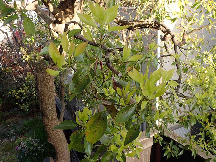 kusunoki_leaf