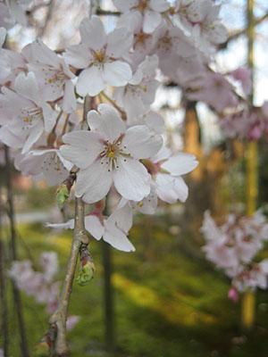 大宝寺しだれ桜