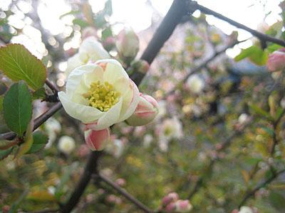大宝寺ぼけの花