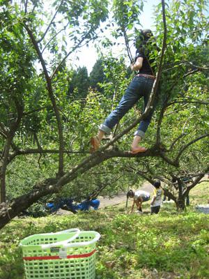 梅もぎ〜木登り?