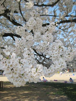 味真野小学校の桜