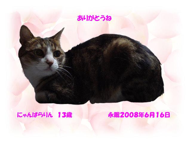 にゃんぱらりん13歳♀(2008.6.16永眠)