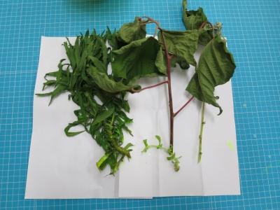 ブラックライト 植物 標本 実験 結果