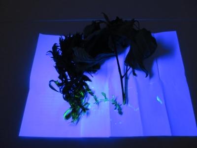 ブラックライト 植物 標本 実験 ブラックライト照射