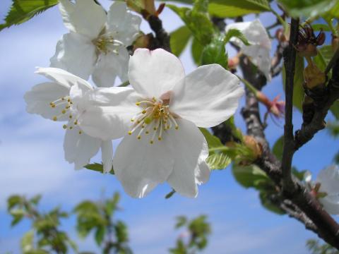 海岸沿いの桜