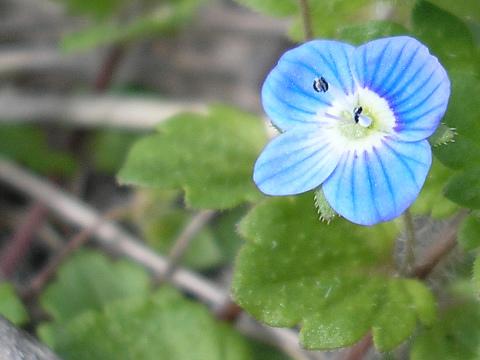 道ばたに咲いてた、小さな青い花
