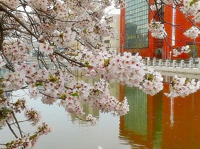 松山城お堀桜