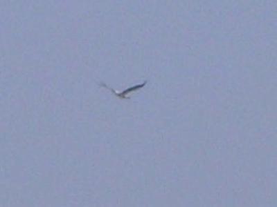 コウノトリ飛翔