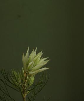 Serruria_1.jpg
